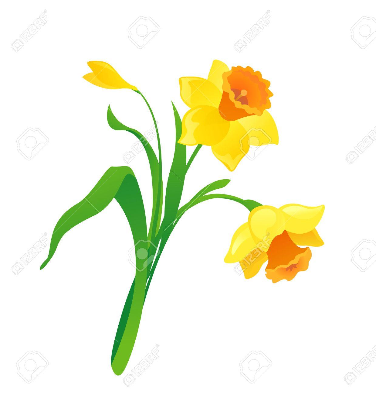 Cartoon Daffodil Stock Vector - 28501915-cartoon daffodil Stock Vector - 28501915-2