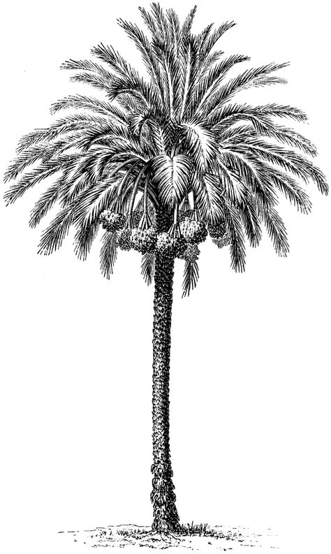 Common Date Palm