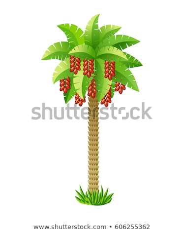 Date palm tree with green leaves and ripe date fruits isolated on white  background. Vector