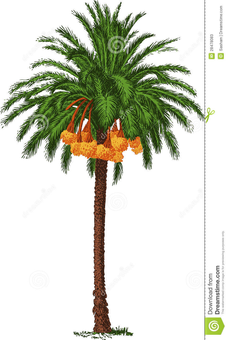 Green tropical date palm tree