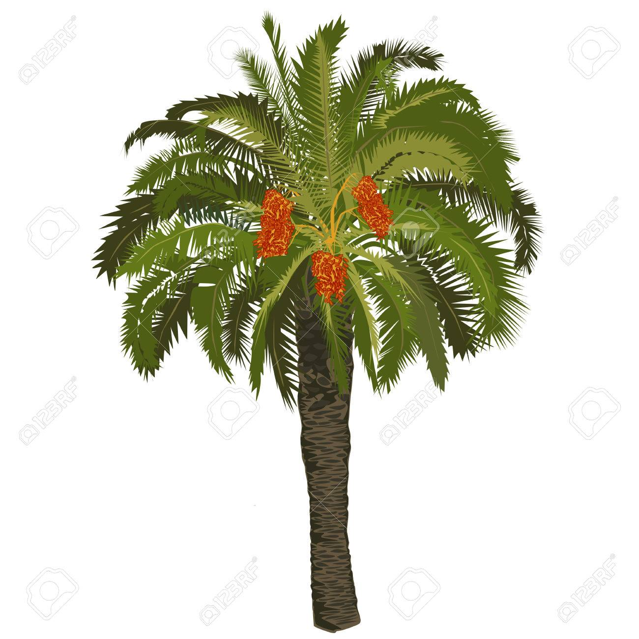 High date palm tree with fruits on a white background Stock Vector -  74101039