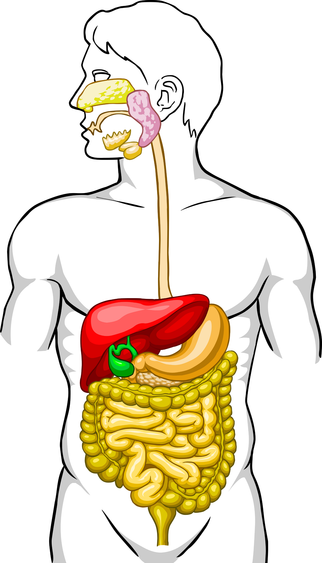 ... Digestive System Clipart - clipartall ...