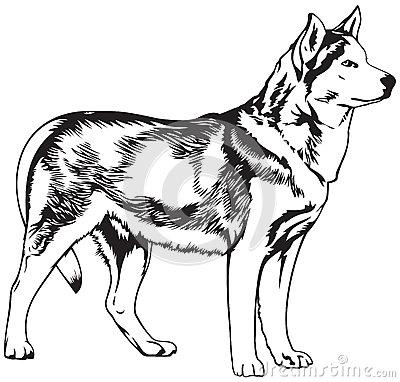 Dog Husky.