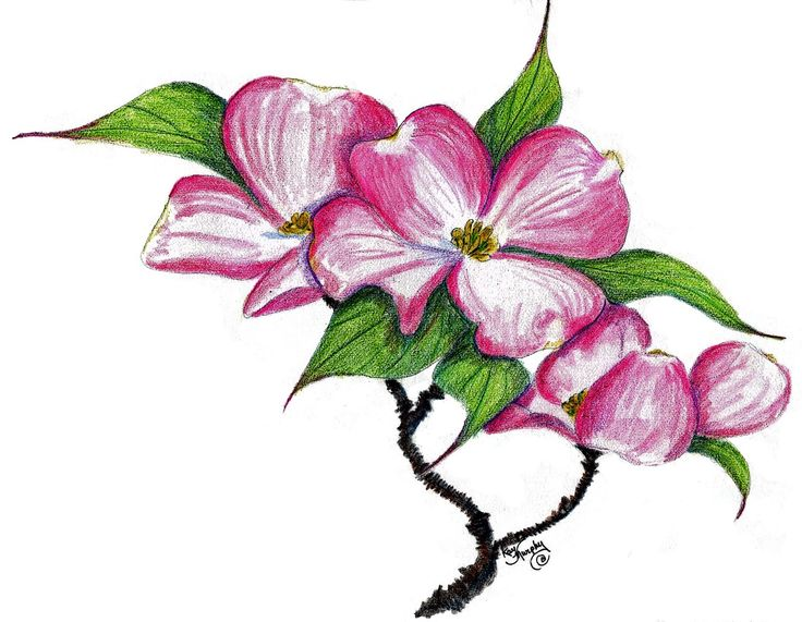 dogwood clipart | 43 dogwood tree drawing free cliparts that you can download to you .