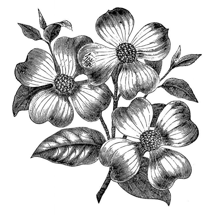 Dogwood Flower Drawings | Free Vintage Images u2013 Dogwood Flowers u2013 2 colors