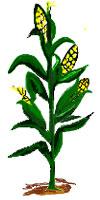 Download Individual Corn Stalk Clipart