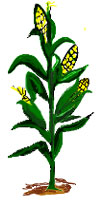 Download Individual Corn Stal - Corn Stalks Clipart