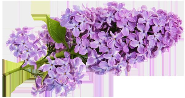 Download Vector About Lilac Clip Art Item 5 Vector Magz Com Library