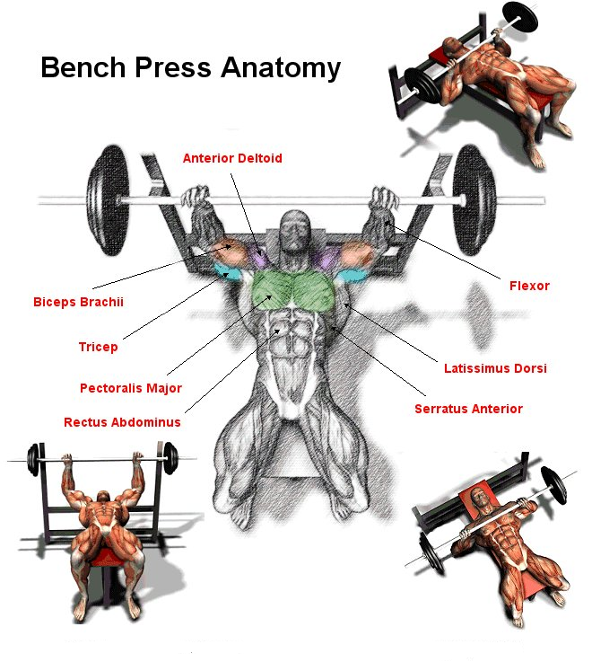BENCH PRESS The Bench Press Is Perhaps T-BENCH PRESS The bench press is perhaps the most widely used exercise out  there. Almost-5