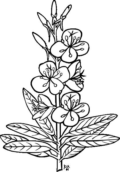 Fireweed Plant Clip Art .-Fireweed Plant clip art .-6