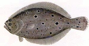 Flounder ...