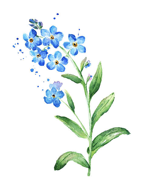 Forget Me Not Flower, Watercolor Vector -Forget Me Not Flower, Watercolor vector art illustration-11