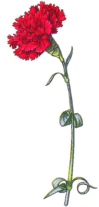 Free Carnation Clipart-Free Carnation Clipart-8