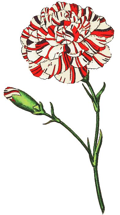 Free Carnation Clipart-Free Carnation Clipart-6