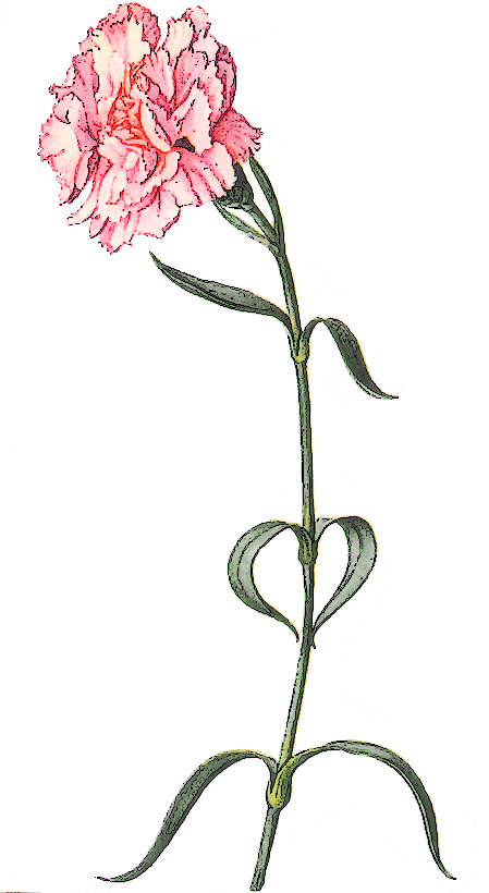 Free Carnation Clipart-Free Carnation Clipart-4