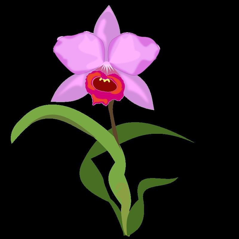 Free Cattleya Flower Clip Art u0026middot; cattleya