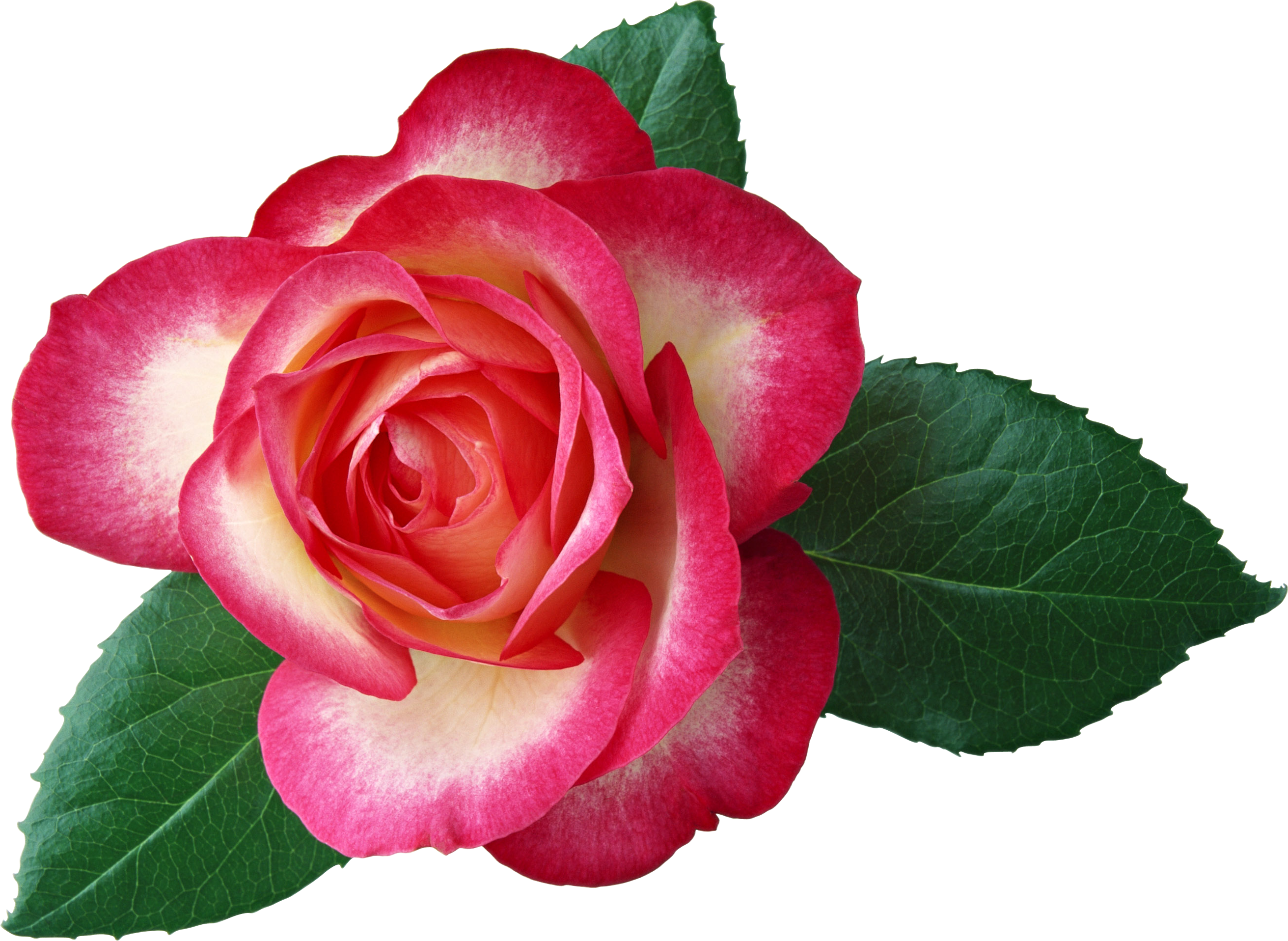 Free Rose Clipart-Free Rose Clipart-5