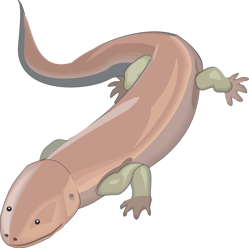 Free Salamander Clip Art u0026middot; salamander2