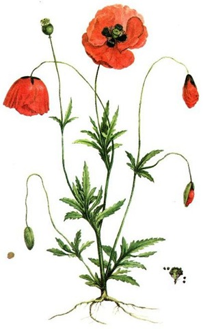 ... free vintage flower clip art red poppies ...