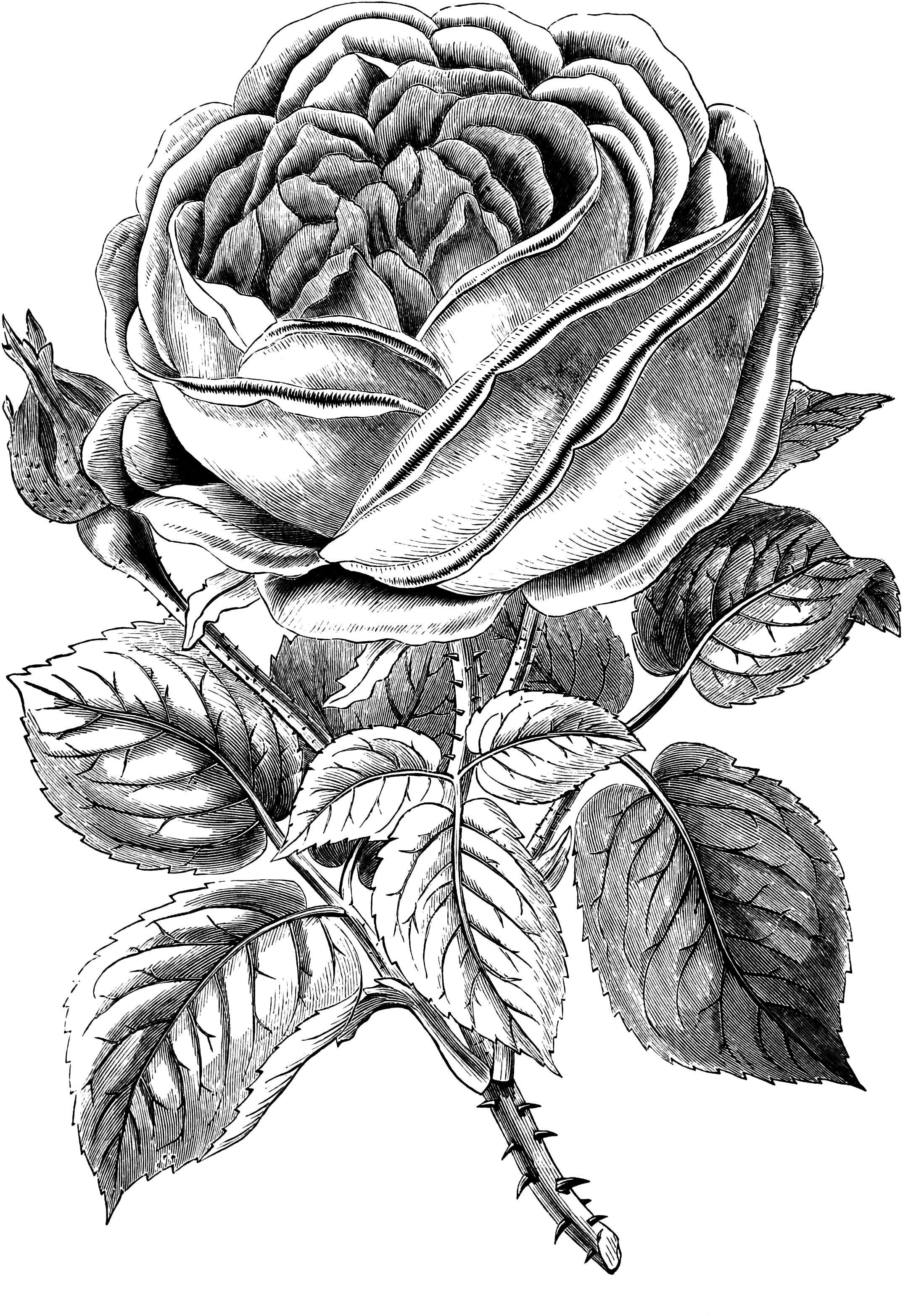Free vintage rose clip art .