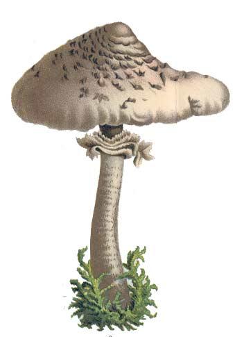 Fungi Clipart Fungi Clipart Fungi Cas Mu-Fungi Clipart Fungi Clipart Fungi Cas Mus-8