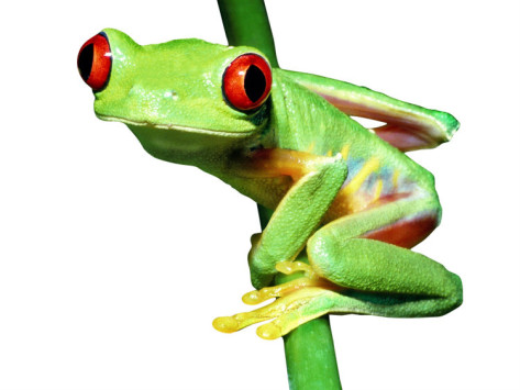 Funny Tree Frog Pictures Free .
