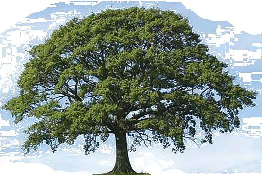 86 Oak Tree Clipart Clipartlook