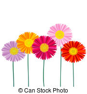 ... Gerber Daisy isolated on white background