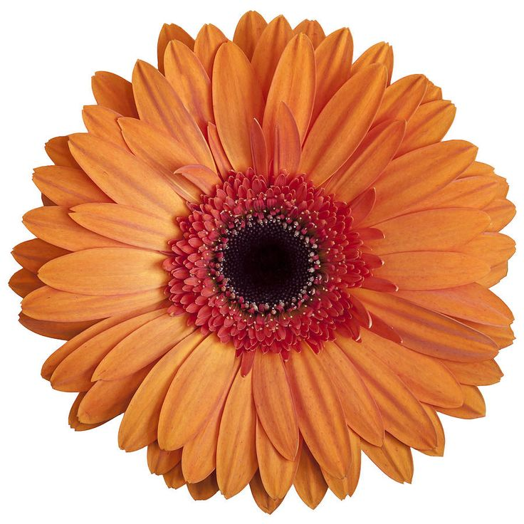 Gerbera, Gerbera Daisies And .-Gerbera, Gerbera daisies and .-10
