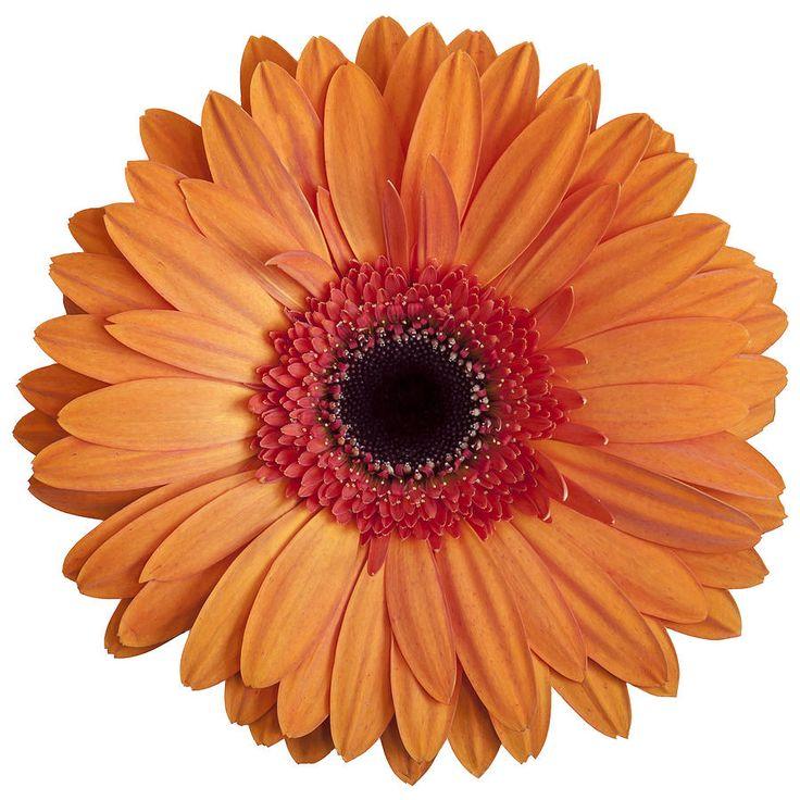 Gerbera, Gerbera daisies and .