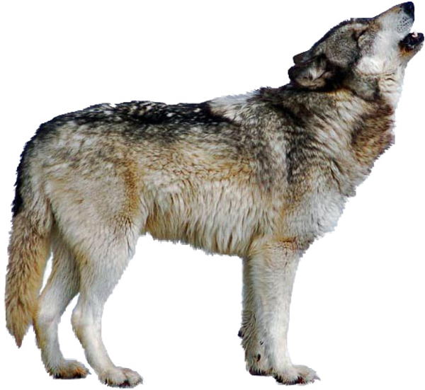 Go Back Gallery For Wolf Howl - Wolf Clipart