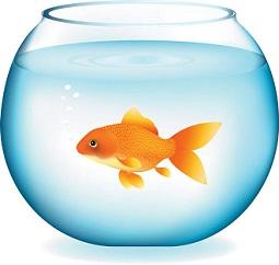goldfish in bowl-goldfish in bowl-7
