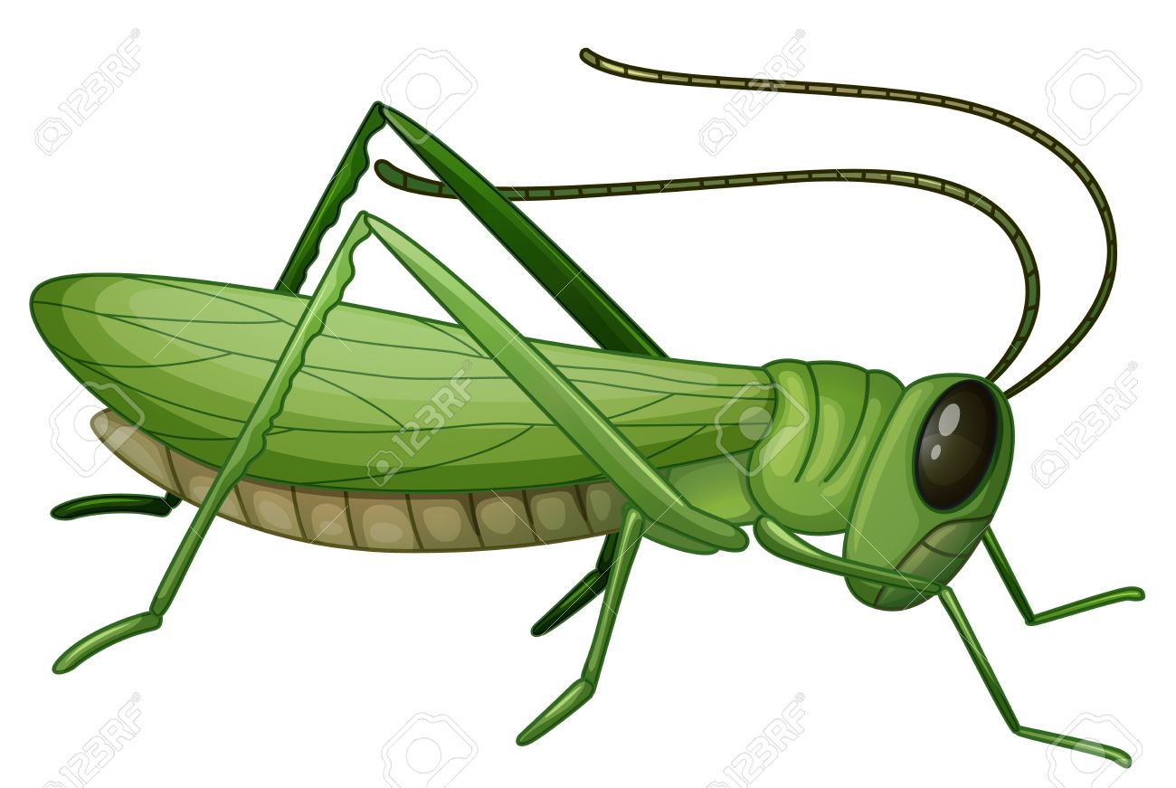 Illustration of a grasshopper on a white background Illustration