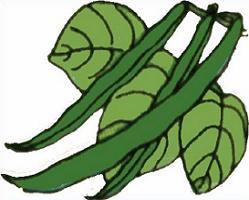 Green Beans Plant-Green Beans Plant-12