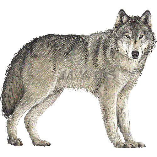Gray wolf. Clipart clipartlook