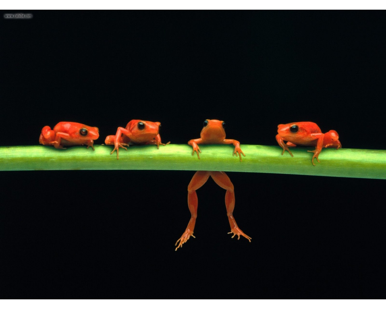 Hang In There Red Tree Frogs Wallpaper-Hang in There Red Tree Frogs wallpaper-8