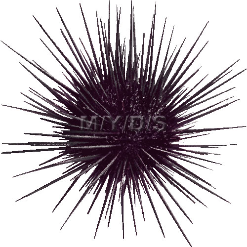 Hard-spined Sea Urchin clipart picture / Large
