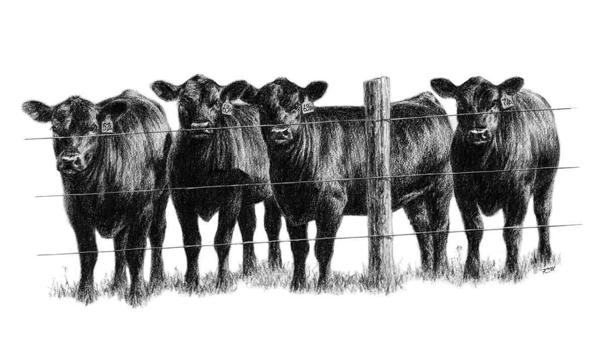 Heifers ...