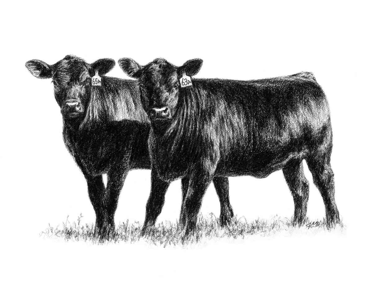 Heifers ... - Show Steer Clip Art