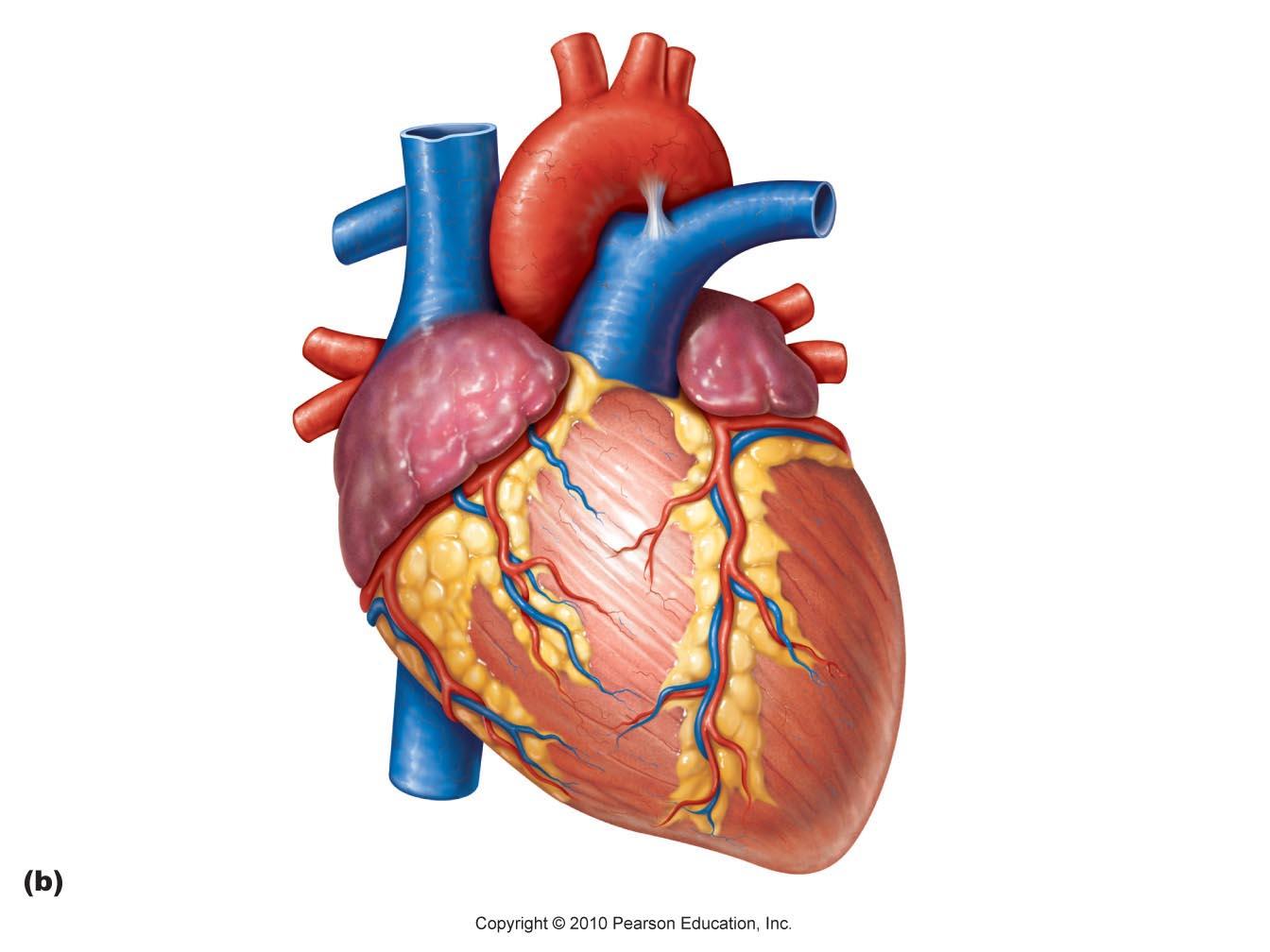 Human heart clip art clipart photo 2