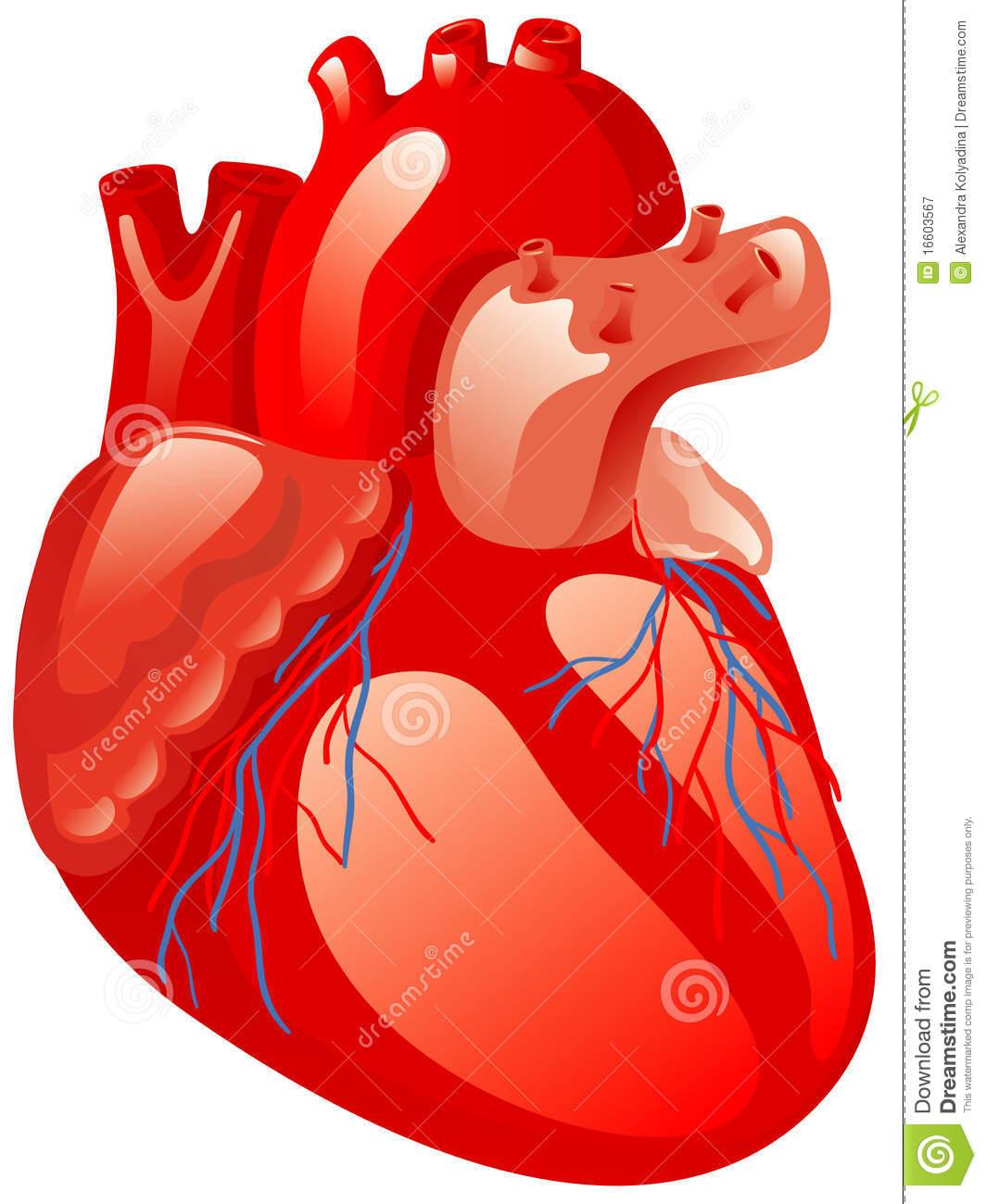 Human Heart Royalty Free Stock Photography Image 16603567