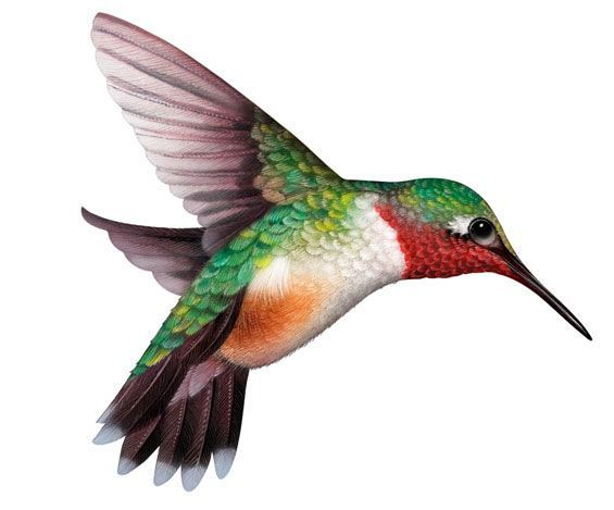 Hummingbird Clipart-Clipartlo