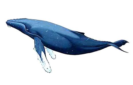 Humpback Whale Clipart - .-Humpback Whale Clipart - .-4