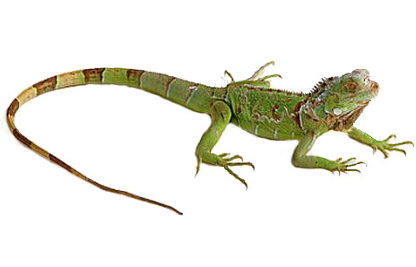 Iguana clip art clipart free download 3