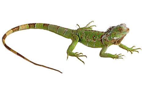 Iguana Clipart-Iguana Clipart-16