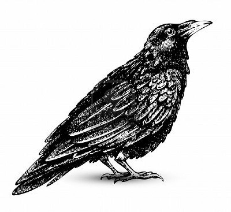 Illustration of Raven drawing high quality vector art, clipart and stock vectors.. Image