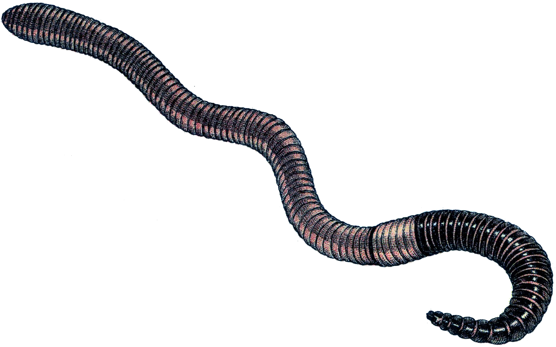 Image For U0026gt; Clipart Earthworm-Image For u0026gt; Clipart Earthworm-14
