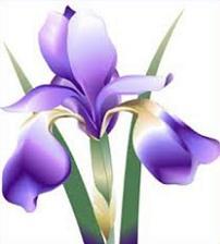 Iris-Iris-8