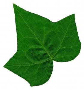 Ivy Leaf 2 - Stock .