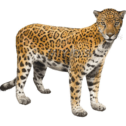 Jaguar clipart kid